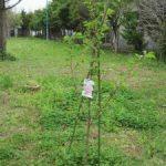 桜の苗木を植えました